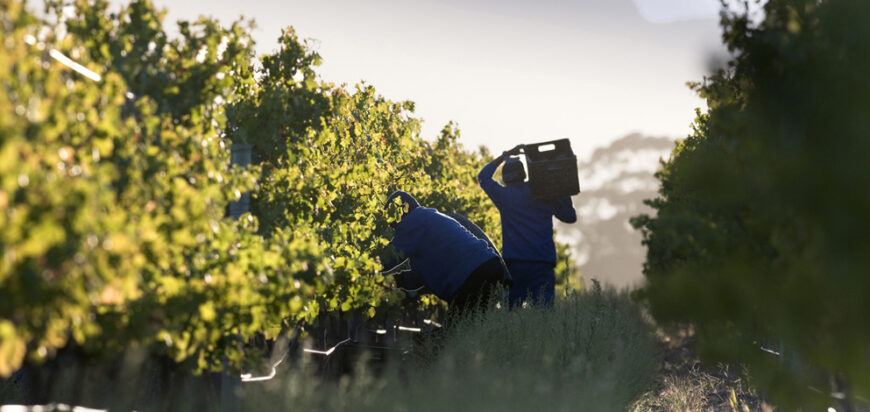 vineyard grape harvest