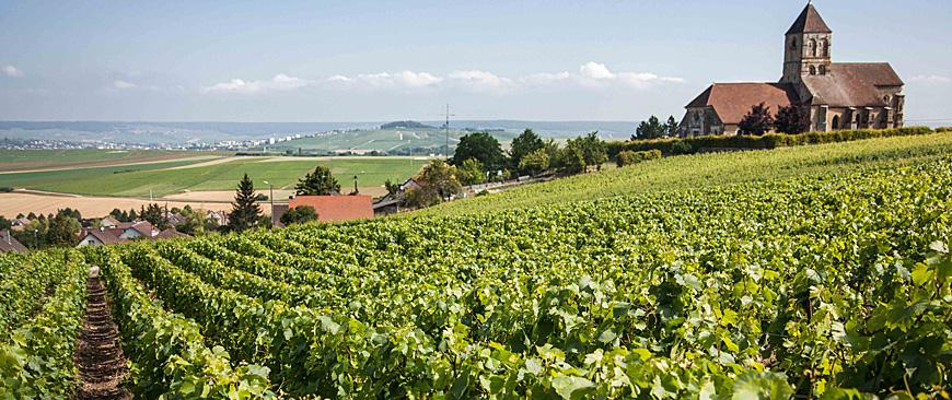 Bollinger vineyard